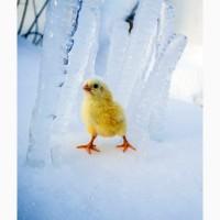 Предлагаем качественных цыплят, утят