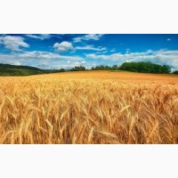 Пшеница, ячмень, кукуруза на экспорт