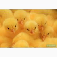 Цыплята бройлера кобб 500 3-хдневные