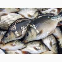 Продам рыбу оптом