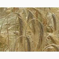 Ячмень Айвенго – семена ячменя озимого (аналогичный сорт ячмень Тутатхамон)