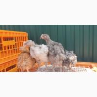 Підрочені курчата