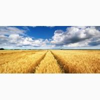 Закупаем Пшеницу с места