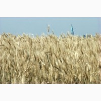 Покупаем проблемную пшеницу