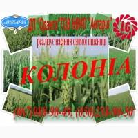 Насіння озимої пшениці Колоніа (Limagrain)