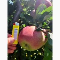Продам яблоко Граф-Эзо оптом с сада