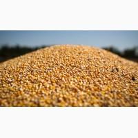 Без посередників. Закуповуємо кукурудзу, великими об#039;ємами
