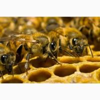 Продам высокопродуктивных пчел от лучших маток украинской степной породы