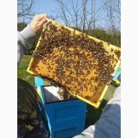 Пчелопакеты и Пчелосемьи (Карпатская порода)