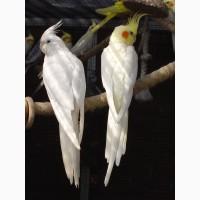 Продам попугаев, карела и какарики