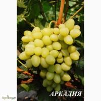 Продам столовый виноград сорт Аркадия, Кадрянка, Ливия, Юбилей Новочеркасска, Рошфор