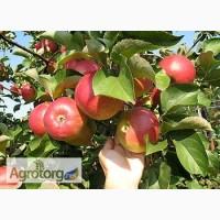 Продаємо смачні яблука власного виробництва. Вінницька область