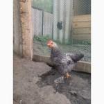 Продам подрощенных цыплят из-под квочки
