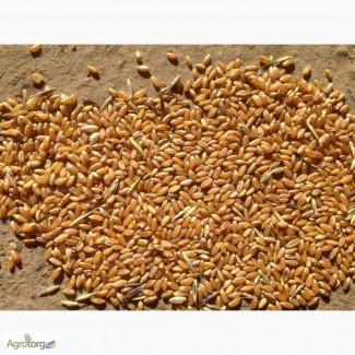 На постоянной основе продаём пшеницу
