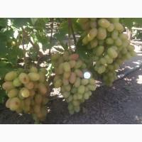 Ягоды винограда оптом и в розницу