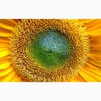 Насіння соняшника під євро-лайтнінг Імісан