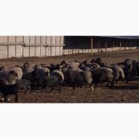 Продам овец романовской породы