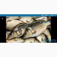 Жива риба (гурт та роздріб)