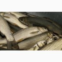 Риба жива, копчена, зарибок малька, раки (гурт та роздріб)