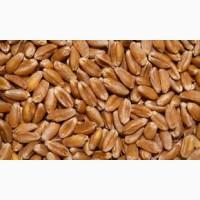 Закупаем пшеницу; 2, 3 класс, фураж