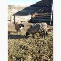 Продам парочку овечок