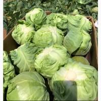 Продам оптом молодую капусту, сорт:Этма, Радан, Зариссима
