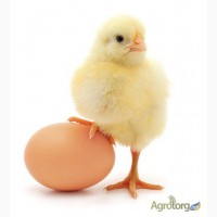 Инкубационное яйцо Ломан Вайт, Леггорн
