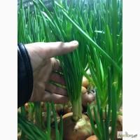 Продам Зеленый лук.оптом и розницу