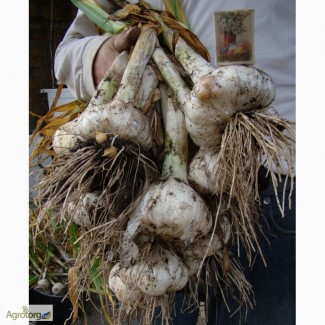 Продам чеснок Рокамболь. Слоновий чеснок, гигантский, египетский лук, испанский чеснок