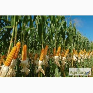 Солонянский 298 СВ гибрид кукурузы ФАО 310