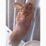 Кролик Новозеландский красный