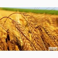 Куплю пшеницу, ячмень, кукурузу, овес по Луганской обл