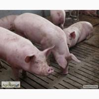 Продам свиней мясного напрямку