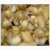 Продаємо інкубаційне яйце та молодняк птиці
