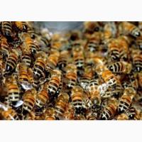 Продам бджоло сім'ї