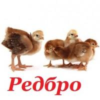 Редбро, купить яйцо для инкубации кур Редбро Винница