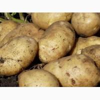 Продажа Картофеля оптом, 10 тонн в день
