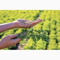 Семена красной чечевицы Мелфорд CL-1 реп.(Канада), устойчивая к Евролайтингу