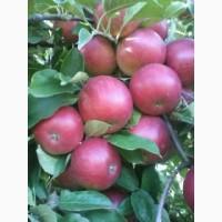 Продам яблука урожаю 2019 року. Власного виробництва