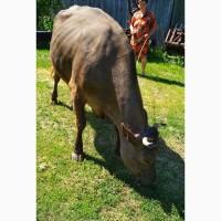 Продам корову