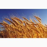 Закупівля пшениці. Вся Україна. самовивіз