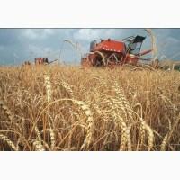 Закупаем пшеницу фураж в больших количествах от 25 т