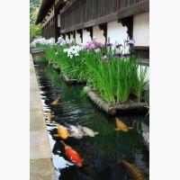 Водные растения, нимфеи, лотос, камыш, рогоза, осока, ирис, гиацинт, растения для пруда