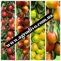 Саженцы плодовых яблонь, груш, слив, вишня, черешня, персик, абрикос, нектарин, розы