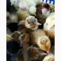 Продам цыплят оптом и в розницу