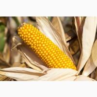 Насіння кукурудзи Амарок 300