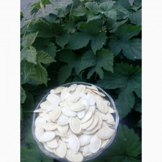 Куплю насіння гарбузове, Україна