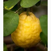 Саженцы лимона сорта Пандероза 1лет, Мейер 2хлет и Павловский 2 лет