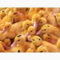 Продаю курчата, гуси, качку від 1 до 7 днів