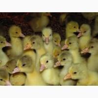 Реалізуємо молодняк свійської птиці від 1 до 7 днів
